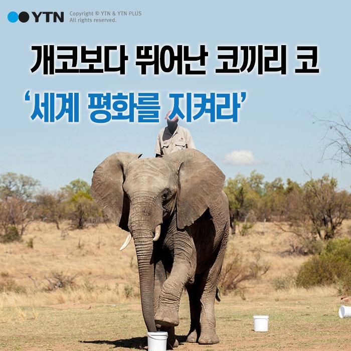 [한컷뉴스] 개코보다 뛰어난 코끼리 코 '세계 평화를 지켜라'