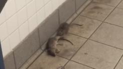 지하철 역에서 죽은 동료 옮긴 쥐 '무슨 사연?'