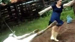 출산한 젖소 도우려다...소 뒷발에 봉변 당한 여성