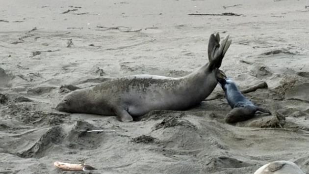 바다표범 출산 장면 포착 '경이로운 순간'