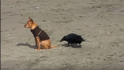 '의외의 케미' 까마귀와 같이 노는 강아지