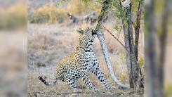'거대 비단뱀' 잡아먹는 야생 표범 포착