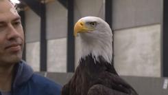 독수리의 사냥 본능…날아가는 드론 덥석