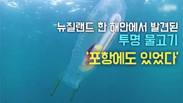 [단독영상] 포항 앞바다서 포착된 '투명 물고기'