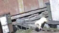 굶주린 북극곰에 습격 당했다…'가까스로 탈출'