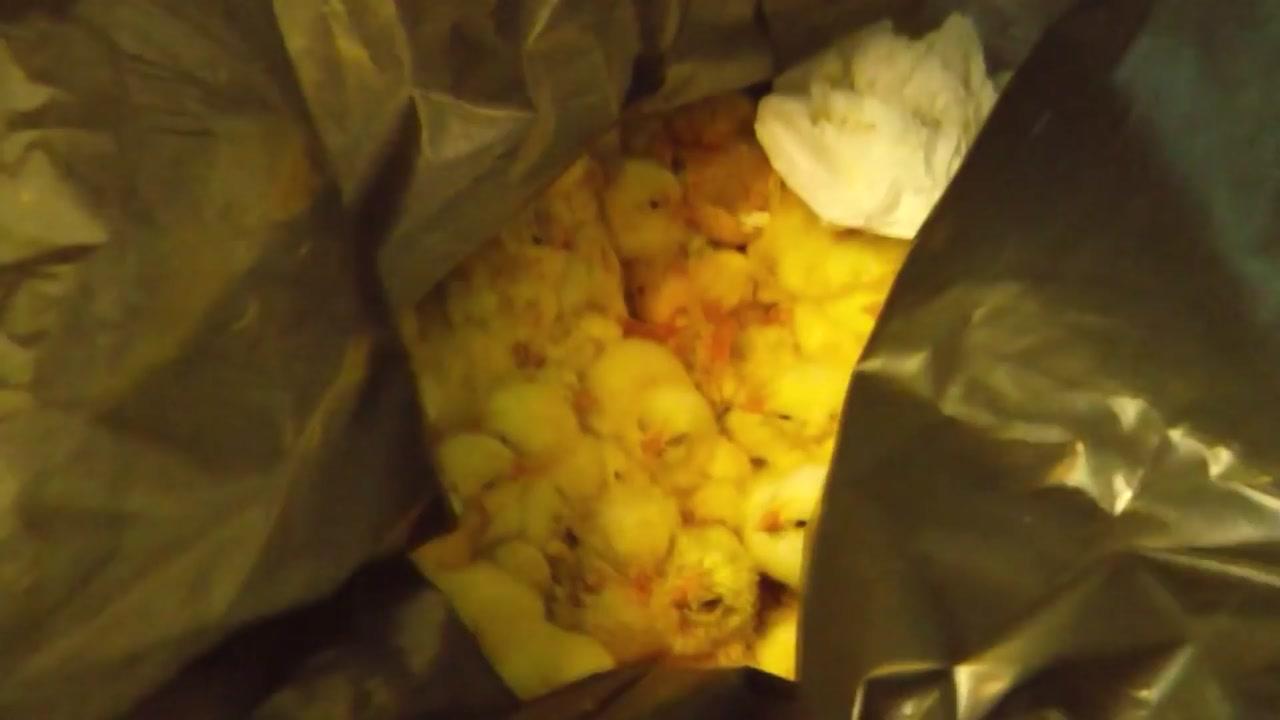 산 병아리를 비닐봉지에...가축공장의 비밀