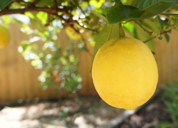 [포토에세이- 호주 킬모어] 레몬티 한 잔 어떠세요?