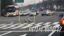 [영상] '지킬 건 지킨다' 초록불에 길 건너는 거위 커플