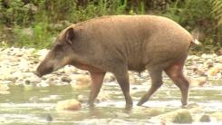 멧돼지 출현 전방위 확산...1년 사이 2배 증가