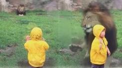 구경하는 아기를 덮치기 위해 질주한 사자의 최후