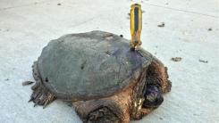 등딱지에 스크루 드라이버가 꽂힌 채 발견된 거북이