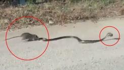 '강한 모정'...굶주린 뱀으로부터 새끼 구해내는 쥐