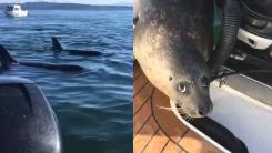 고래에게 먹힐 위기 처하자 사람 품으로 도망친 물개