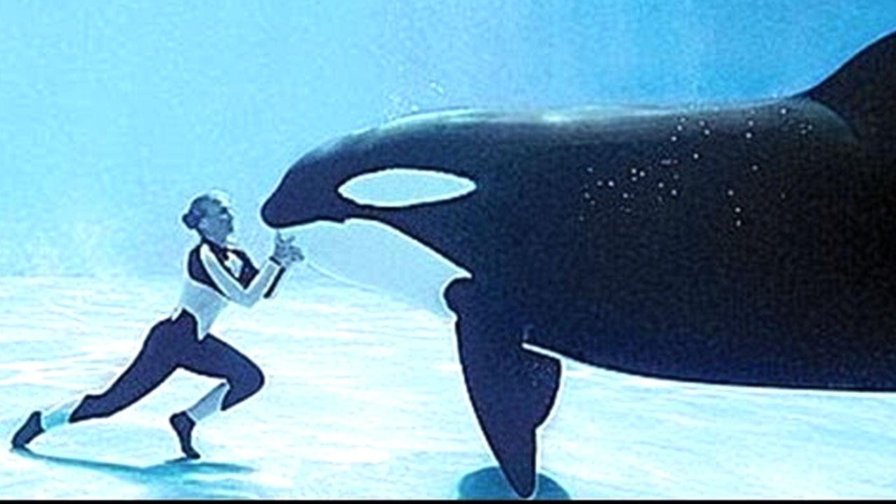 바다의 포식자 '범고래'가 사람을 공격하지 않는 이유