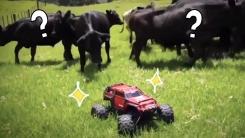'장난감 차'를 발견한 소 떼의 특이한 반응