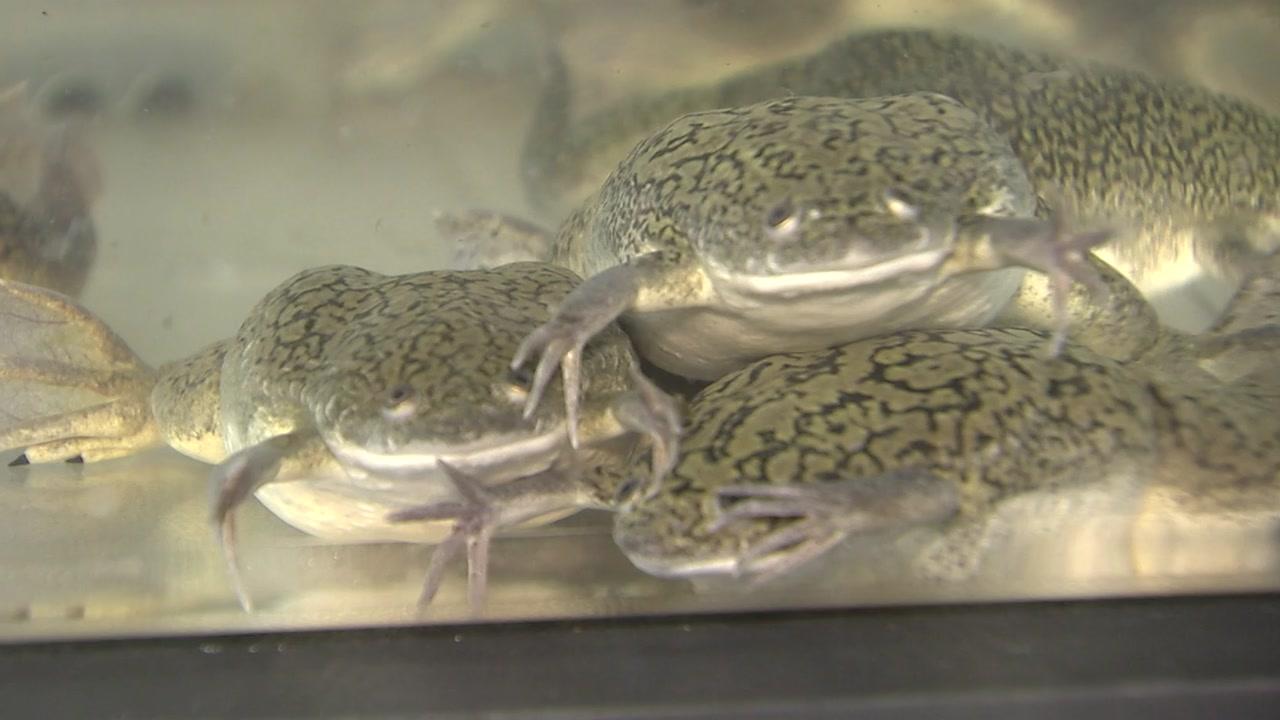 아프리카발톱개구리 유전체 세계 첫 해독
