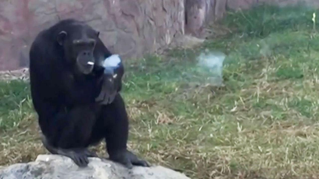 北 평양 동물원의 명물 '담배 피우는 침팬지'
