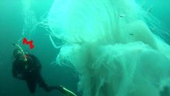 사람 삼킬 듯 거대한 희귀 해파리를 만난 잠수부