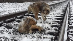 """""""열차가 다가오자 개는 동료를 위해 몸을 감쌌다"""""""