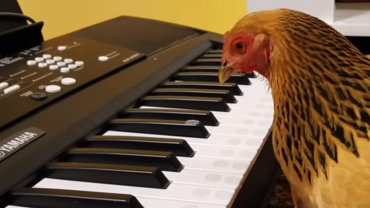 """피아노 연주하는 닭, """"심지어 잘 친다"""""""