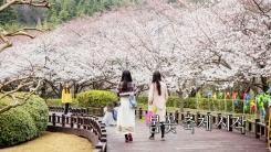 [영상] 연분홍빛으로 봄날 물들인 벚꽃