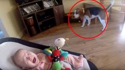 아기 장난감 훔쳐간 강아지가 사과하는 방법