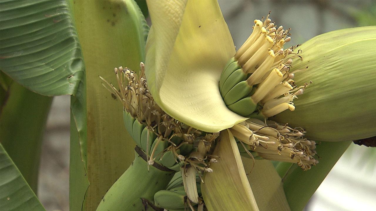 대구에 바나나 열매...우리나라도 이제 아열대 기후?