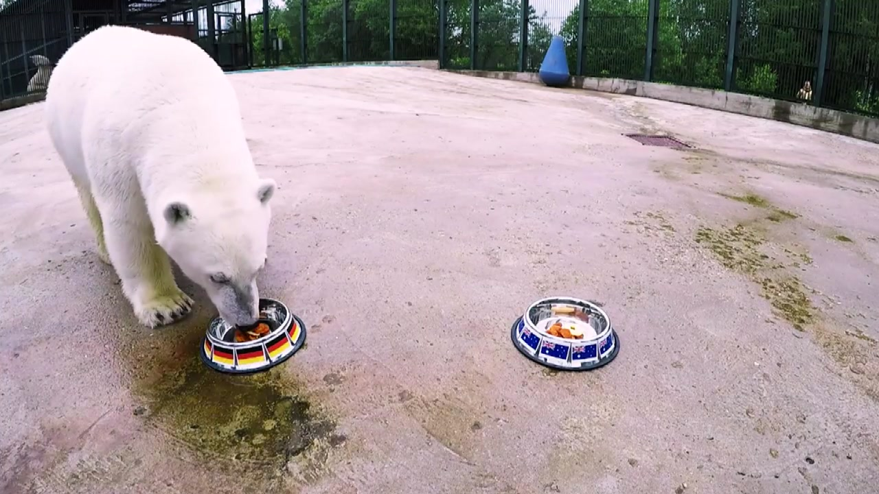 문어 비켜!...새로운 축구 예언가 북극곰 '니카'