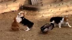'가재는 게 편?'...닭과 오리의 연합작전