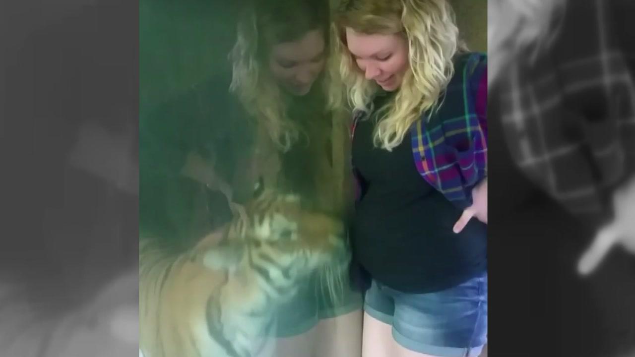 임신부 배에 얼굴 비비는 호랑이