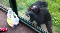 [영상] '그거 말고, 그래 그거'...음식 요구하는 침팬지
