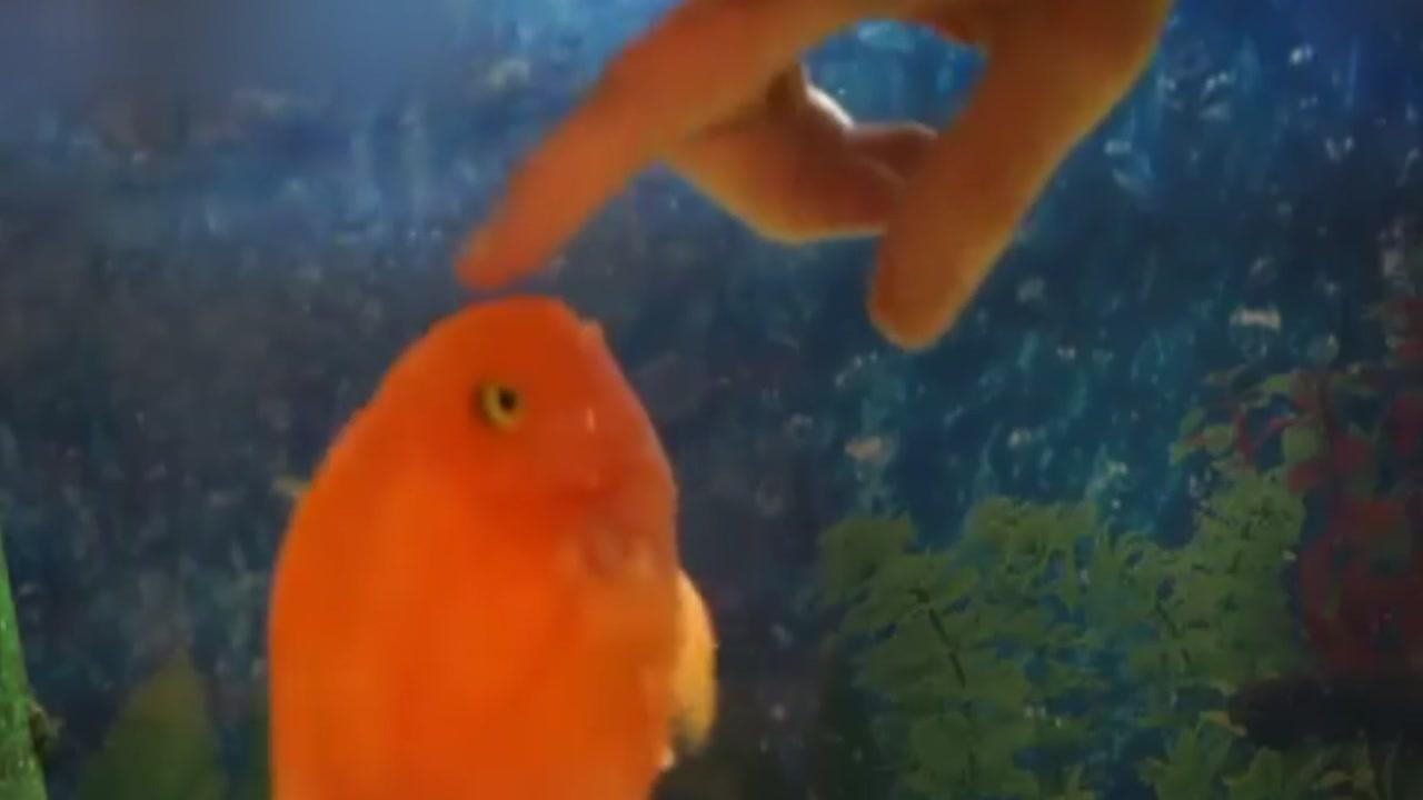 [지구촌생생영상] 주인에게 '뽀뽀 세례' 퍼붓는 '반려 물고기'