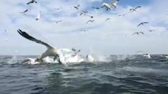 '날개 길이만 2m' 거대 철새의 물고기 사냥