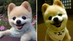 세상에서 가장 귀여운 강아지 '슌스케' 무지개다리 건넜다