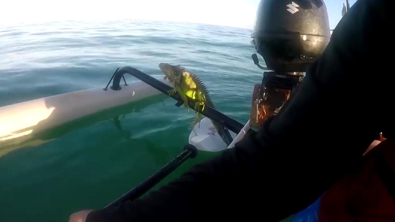 [영상] 바다 한가운데서 구조된 이구아나