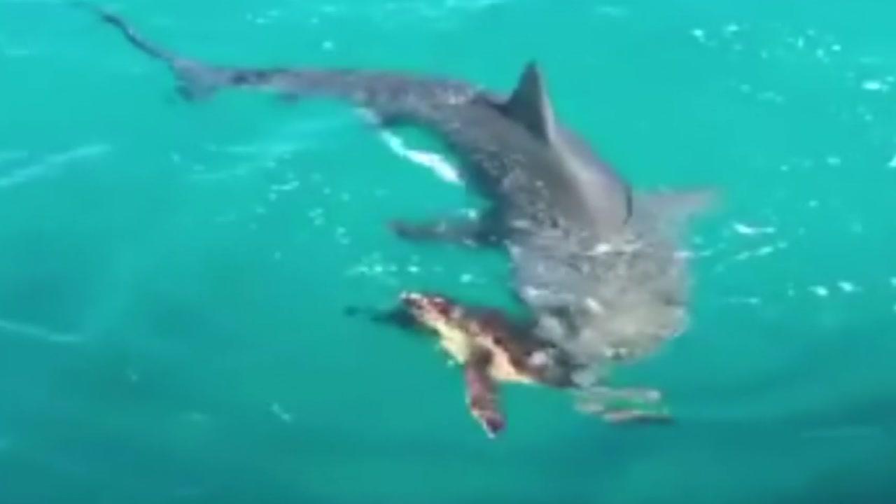 [영상] 상어의 날카로운 공격을 막는 바다거북의 전략