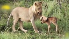 '사슴은 내가 지킨다'...야생의 법칙을 넘어선 사랑