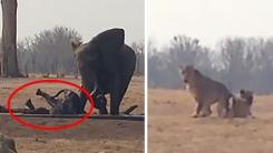포기하지 않고 위험에 빠진 새끼 구한 어른 코끼리