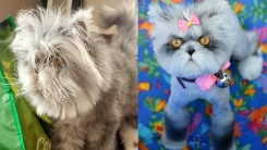 '다모증으로 털이 계속 자라...' 강아지로 오해받는 고양이