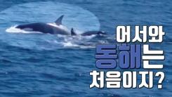 [자막뉴스] '범고래' 어서와, 동해는 처음이지?