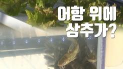 [자막뉴스] '어항 위에 상추' 물고기·채소 함께 기른다