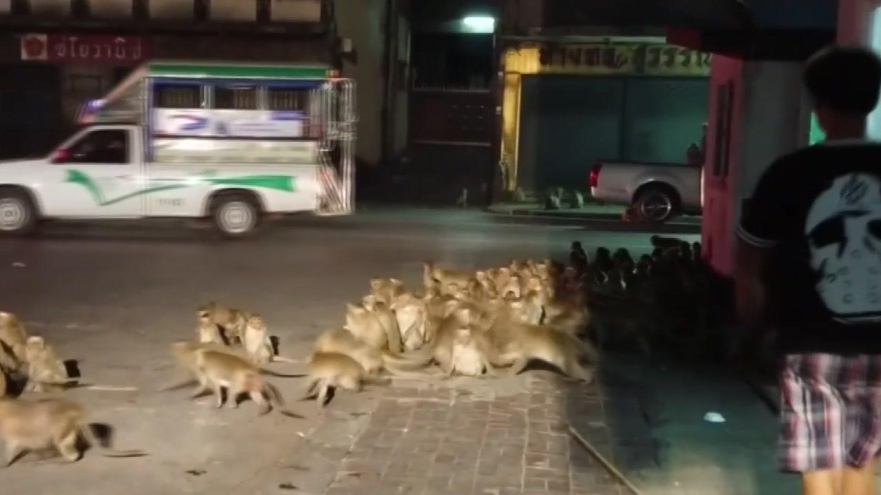 불꽃놀이 소리에 시내로 몰려나온 원숭이 떼