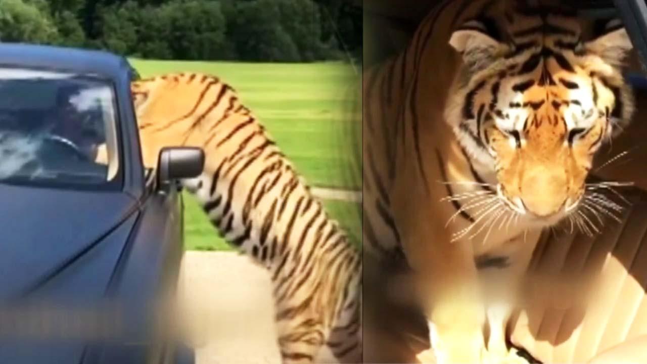 호랑이가 고급 승용차를 덮친 이유는?