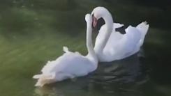 [영상] '보고 싶었어요'...백조 커플의 애정 표현