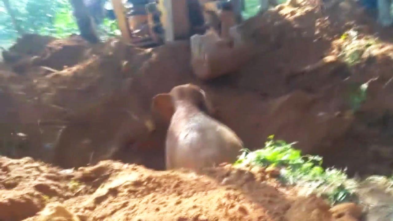 [영상] 우물에 빠진 코끼리...굴착기 동원해서 구조