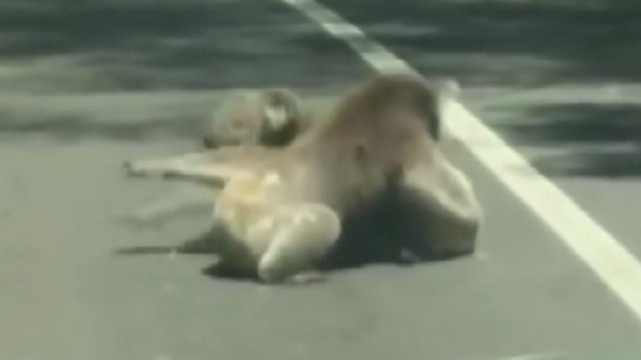 [영상] 도로 위 '시선강탈'...코알라의 귀여운 난투극