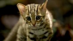 세계에서 가장 작은 고양이 '붉은점 살쾡이'