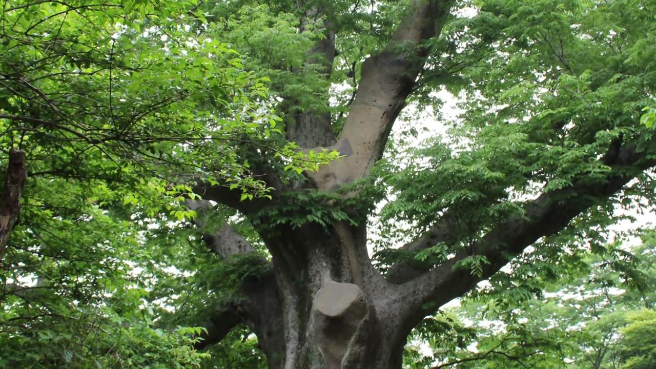 해남 대흥사 느티나무, 전라도 정도 천 년 상징 나무 선정