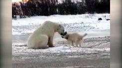 [영상] 배고픈 북극곰, 강아지에게 다가가더니...