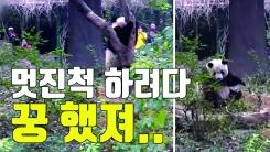 [자막뉴스] 체면 구긴 판다...엉덩방아 찧고 나무에 분풀이